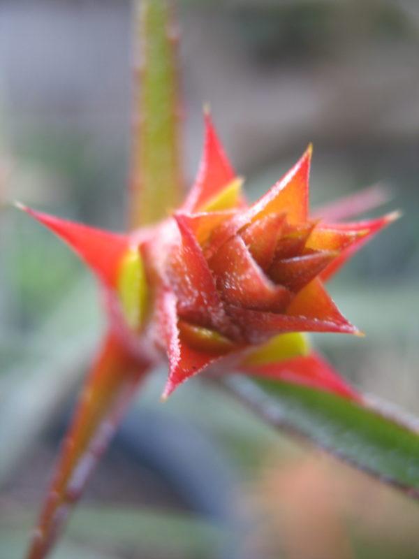 Acanthostachys strobilacea