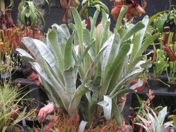 Brochinnia reducta