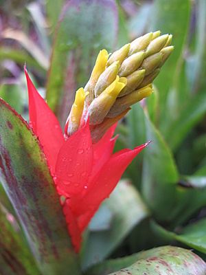Choice_Aechmea-nudicaulis-rubra