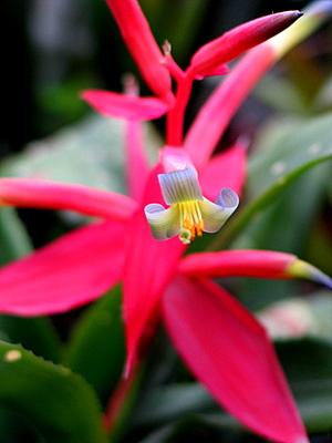 Permanent-Wave-Plant_Billbergia-leptopoda