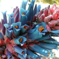 Puya coerelea