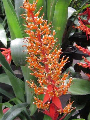 Self-Expression_Aechmea-penduliflora