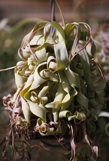 Tillandsia_streptophylla_Goldy_Locks