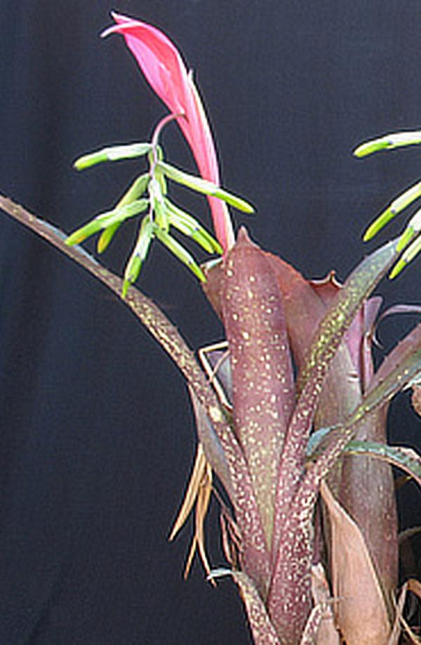 Billbergia distachia